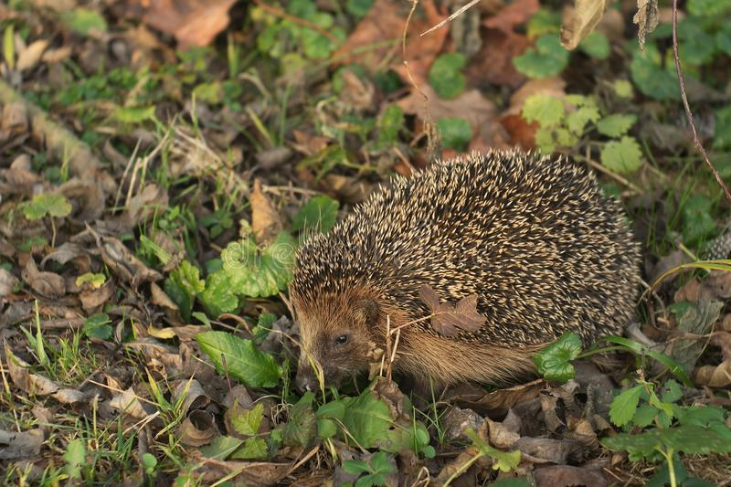 Detailed Picture of the European hedgehog in the wood.in the spring just after the winter sleep or hibernation. Close up picure of the animal with nose, eye royalty free stock photos