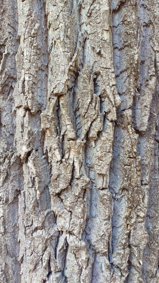 Detailed Poplar Tree Bark Macro. A detailed closeup of the bark of a poplar tree stock photography