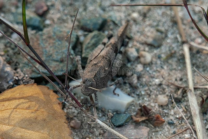 Detailed portrait of a Oedipoda caerulescens blue winged wasteland locust grasshopper in disguise stock photography