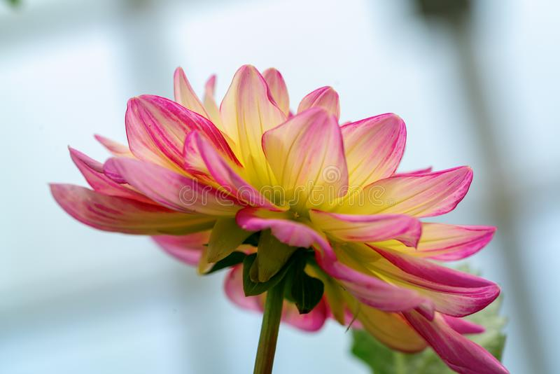 Detailed red and White dahlia flower. Close up image. Macro photography royalty free stock image