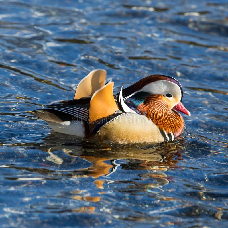 Detailed side view male mandarin duck aix galericulata swimming in water royalty free stock images