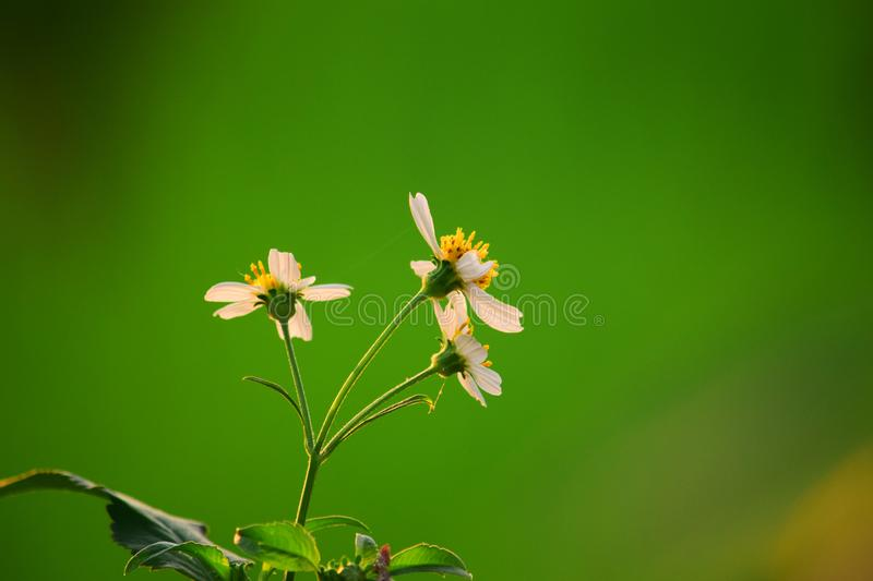 Detailed texture of a blooming chamomile flower. Beautiful little flower with a blur background royalty free stock photography