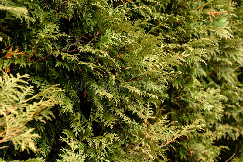 Detailed texture of conifer forest on hill close up, Background of tree tops on mountainside stock photography