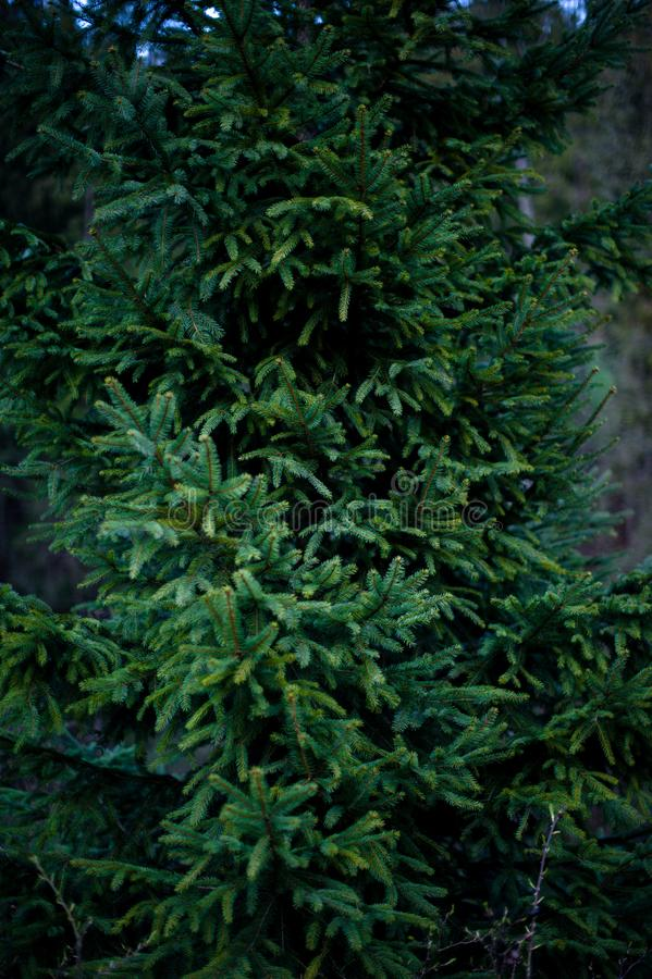 Detailed texture of conifer forest on hill close up. Background of tree tops on mountainside. Cones of conifer trees on steep slope with copy space royalty free stock photos