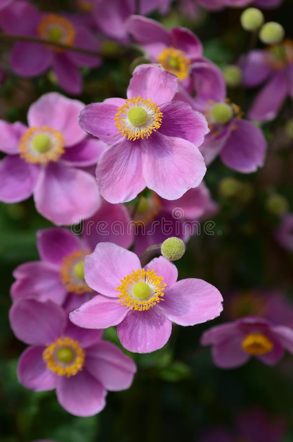 Anemone japonica in flower. Detailed view on anemone japonica in flower, violet colour royalty free stock photos