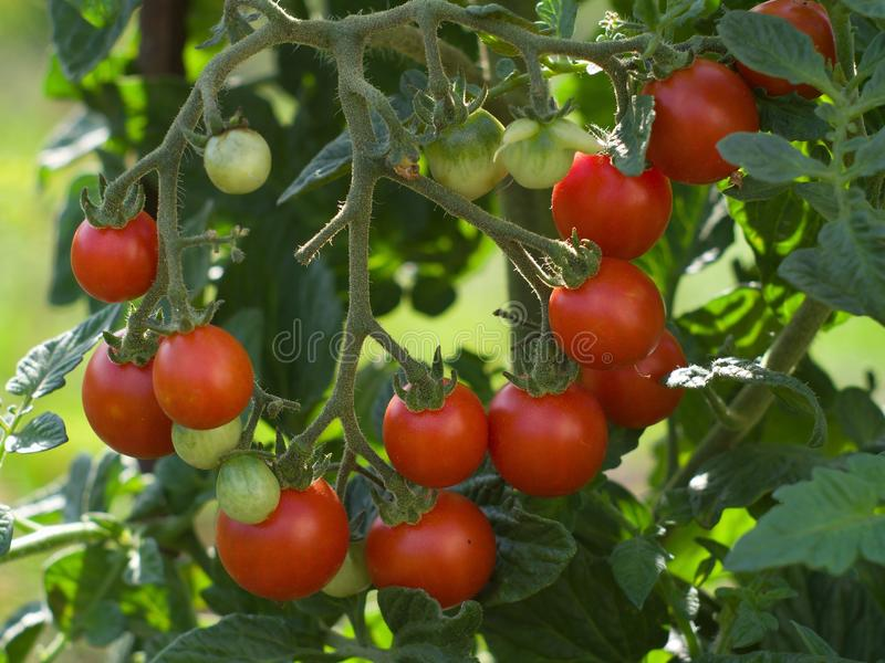Detailed view on the bunch of riped and unriped cherry tomatoes on the tree and twig in the garden. Summer and organic stock photography