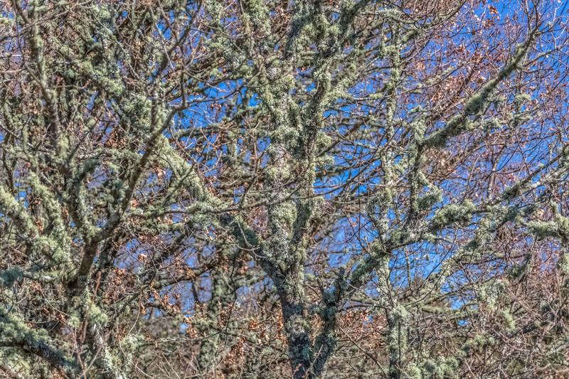 Detailed view of the central part of an oak, structural pull and twigs royalty free stock image