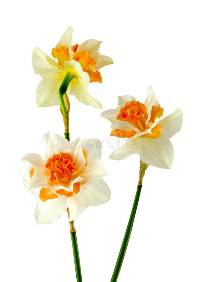 Very beautiful Daffodils. Detailed view of Daffodils in full bloom isolated on a white background royalty free stock photography