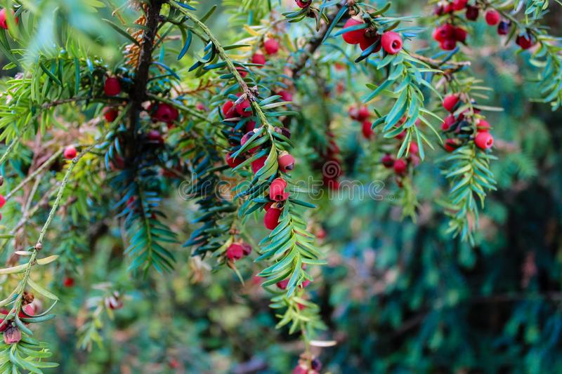 Detailed view of European Yew or Taxus Baccata. Is conifer shrub with poisonous and bitter red ripened berry fruits stock photos
