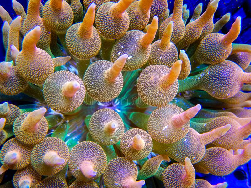 Green, orange and pink anemone tentacles. Detailed view of an extremely colorful bubbletip anemone growing in a captive reef aquarium system royalty free stock images