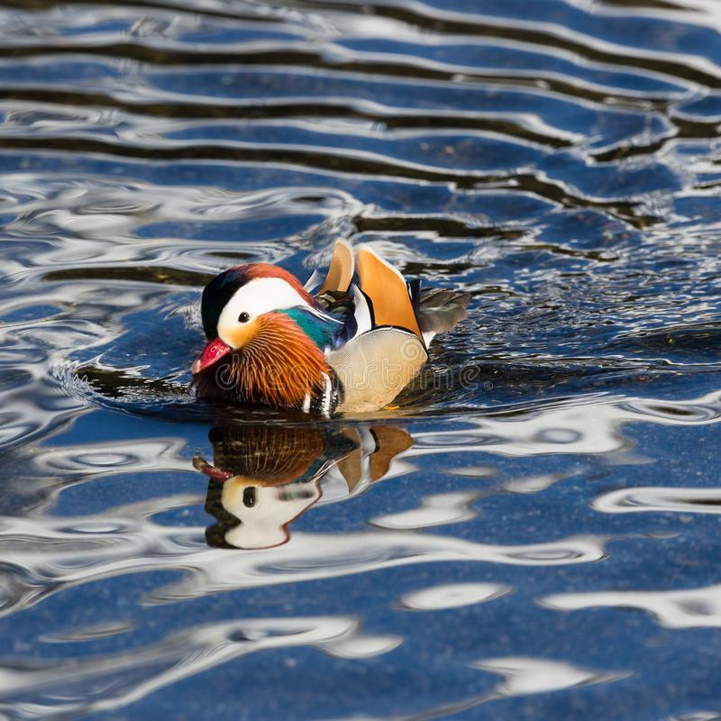 Detailed view male mandarin duck aix galericulata swimming in water royalty free stock images