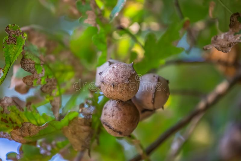 Detailed view of oak galls on oak tree, blurred background stock photo