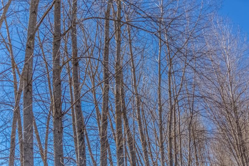Detailed view of the parallel top trees on the herbs field royalty free stock photo