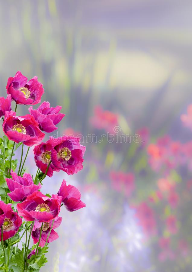 Purple Poppies Galore. Detailed view of purple poppies in full bloom on a diffused background royalty free stock photo