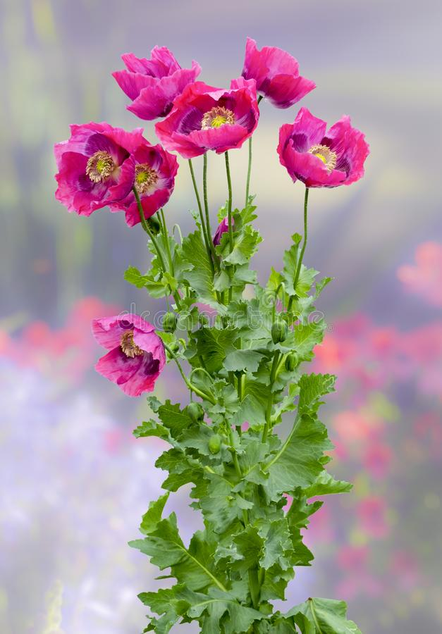 Purple Poppies Galore royalty free stock photo