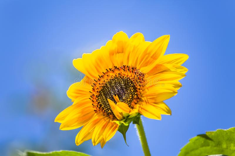 Detailed view of a sunflower flower, yellow and orange colored flower royalty free stock photo