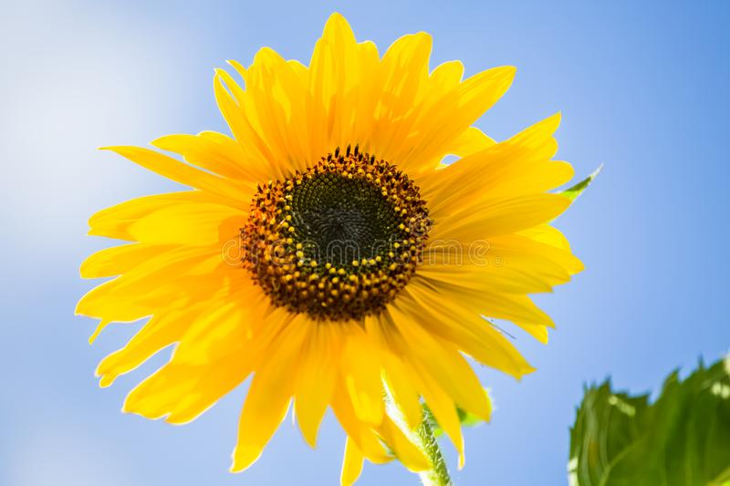 Detailed view of a sunflower flower, yellow and orange colored flower stock photography
