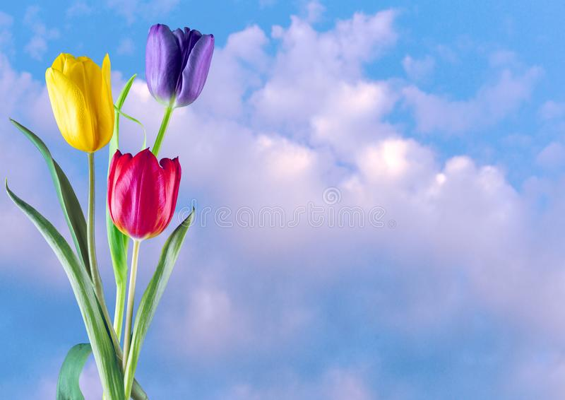 Three of a kind. Detailed view of three different coloured tulips on a cloudy sky background stock photos