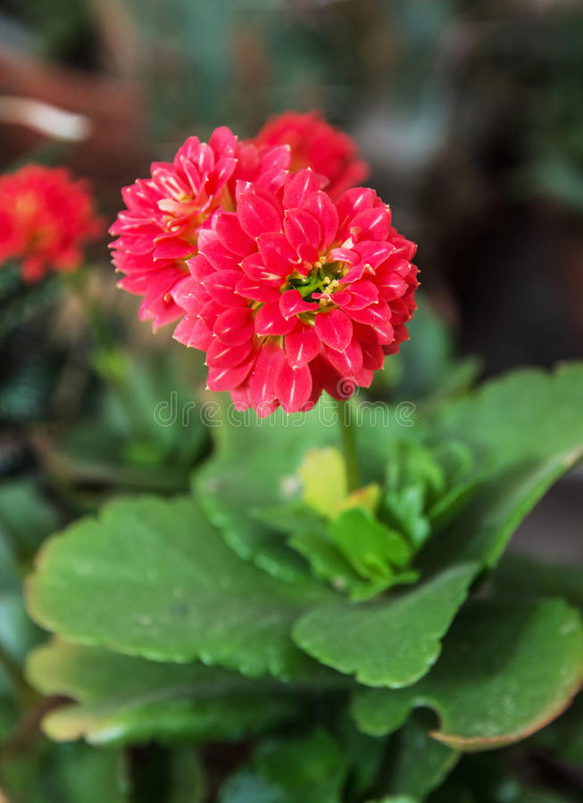 Detailfoto van rode Dahliabloem, schoonheid in aard stock foto