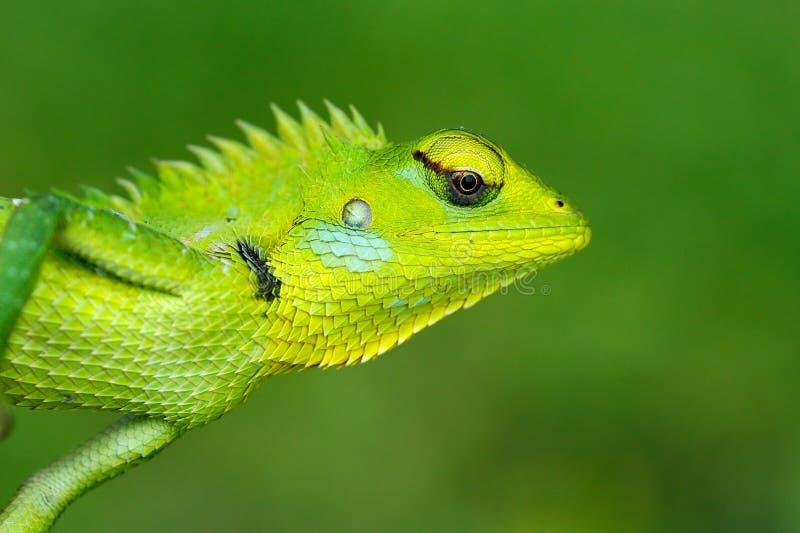 Detailgesichtsporträt der Eidechse Grüne Garten-Eidechse, Calotes-calotes, Detailaugenporträt des exotischen tropischen Tieres im lizenzfreie stockfotos