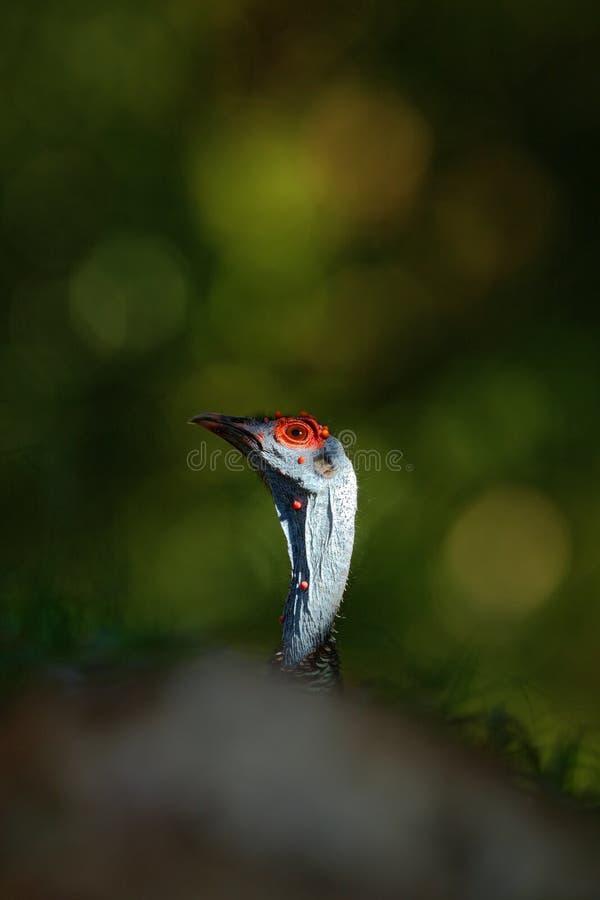Detailportret van Ocellated Turkije, Meleagris-ocellata, zeldzame bizar vogel, het Nationale Park van Tikal, Gutemala Wild Turkij stock foto