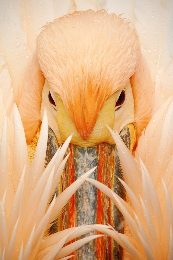 Detailportret van oranje en roze vogelpelikaan met veren over rekening royalty-vrije stock fotografie