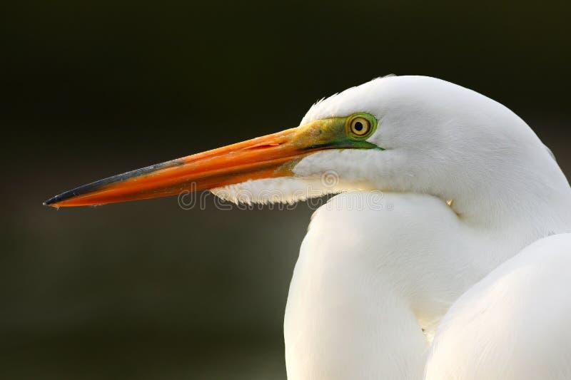 Detailportret van watervogel Witte reiger, Grote Aigrette die, alba Egretta, zich in het water in maart bevinden Strand in Florid royalty-vrije stock foto's