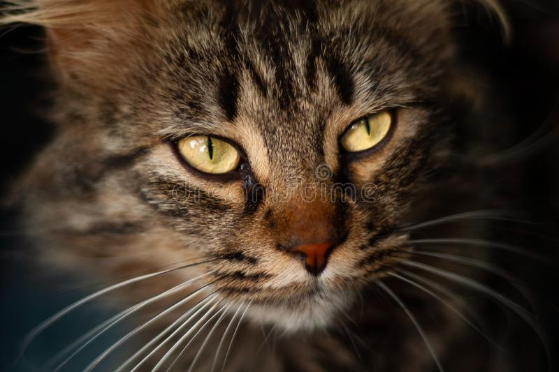 Details of a beautiful domestic cat with amber eyes. And white mustache royalty free stock photography