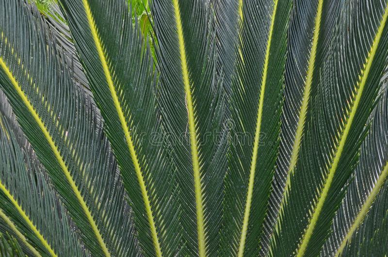 Details of dark green pattern of cycad leaves royalty free stock photos