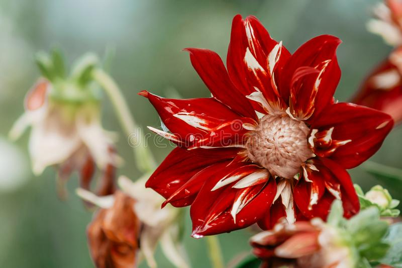 Details der roten und rosa Dahlienblume mit Wassertropfen nach Regen Makronahaufnahmephotographie Foto in der Farbe stockfotos