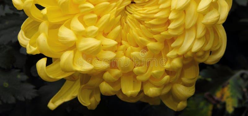 Details des gelben Blumenblattes stockfotografie