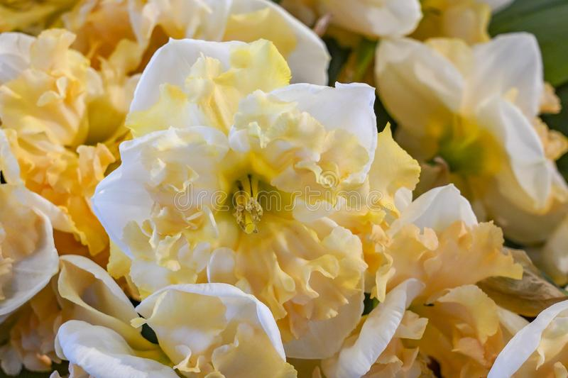 Details of the flower of a yellow-white trumpet Daffodil stock photography