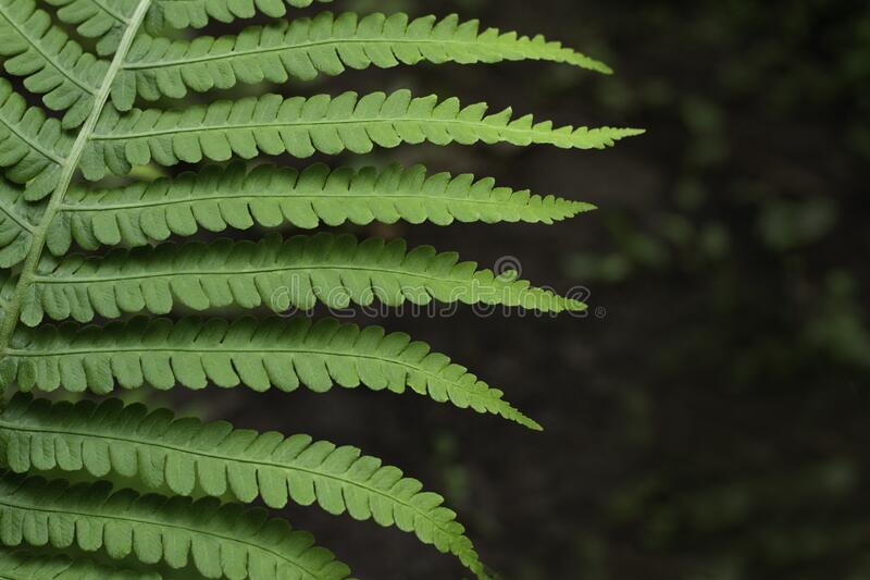 Part of forest fern leaf.  Healthy eco system concept.   Natural green background. royalty free stock image