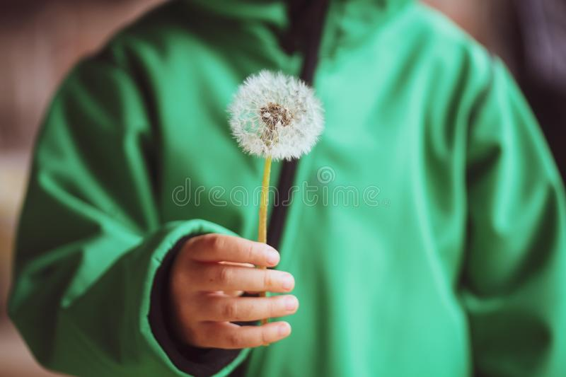 Details of a hand of a little girl holding a seeding dandelion flower Taraxacum during a rainy summer day royalty free stock photo