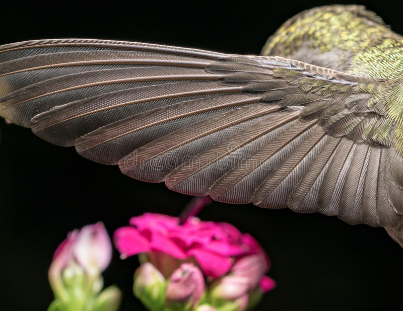 Download Details Of The Hummingbird Wing Stock Photo - Image: 83724299