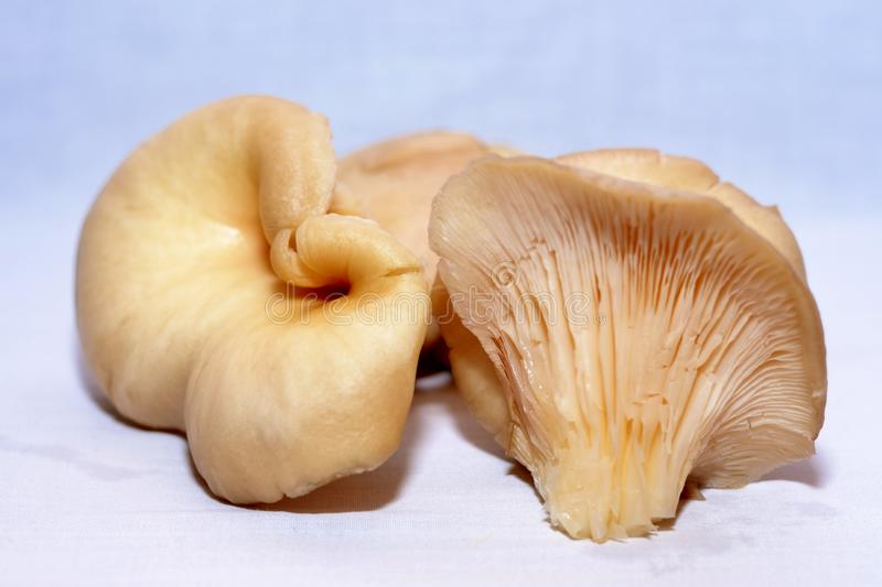 Details of illustrated oyster mushrooms. And white background stock photos