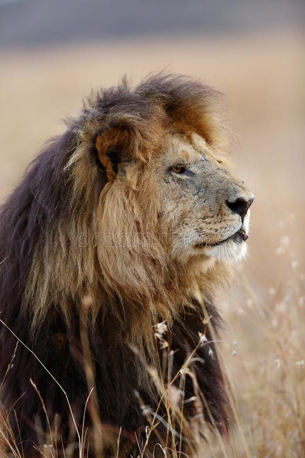 Details of Mane of a lion. Lion is one of the four big cats and belongs to genus Panthera stock photos