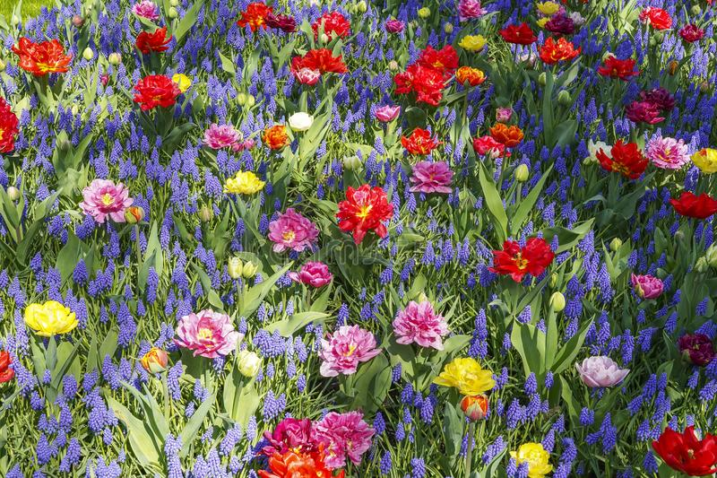 Details of a mixed flower bed with Muscari botryoides and different colors tulips royalty free stock photo