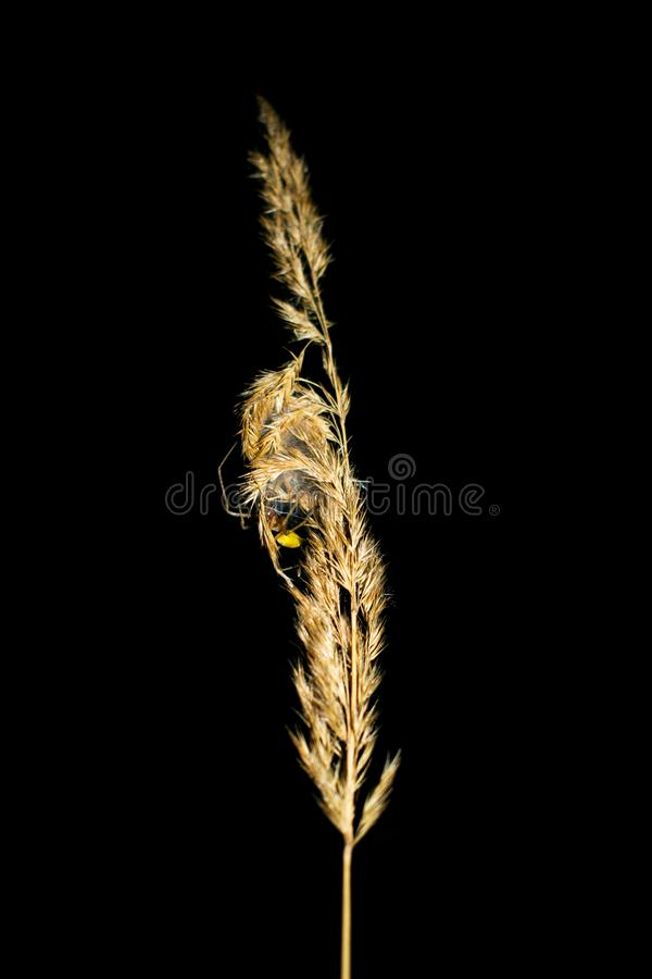 Details from nature. A dry plant photographed during the night. A large, yellow spider climbs this plant royalty free stock photography