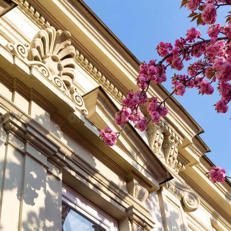 Details of old ornamented house with blooming Japanese cherry branch. Details of old ornamented house with blooming Japanese cherry Prunus serrulata or Cerasus stock image