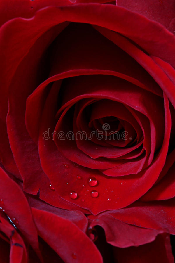 Download Details Of Red Rose Blossom Stock Photo - Image of drops, beauty: 13165440