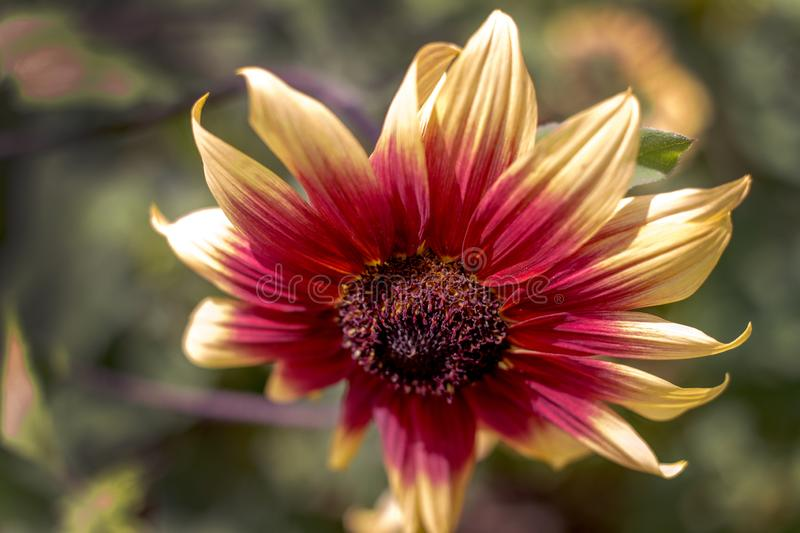 Details of a single, beautiful sunflower in orange and yellow stock photo