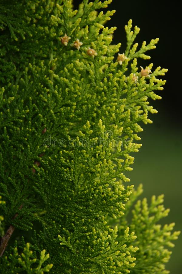 Detail in the small cypress forest. Details in the small forest of lush evergreen cypress,  family Cupressaceae, trees royalty free stock images