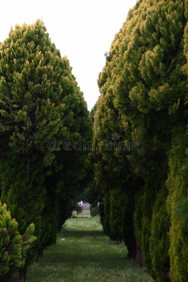 Detail in the small cypress forest. Details in the small forest of lush evergreen cypress,  family Cupressaceae, trees stock images