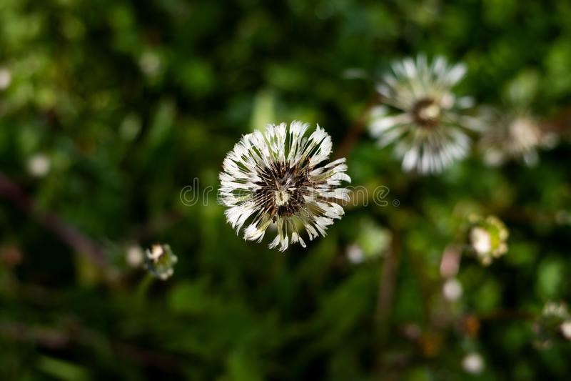 Details of the white dandelion stock image