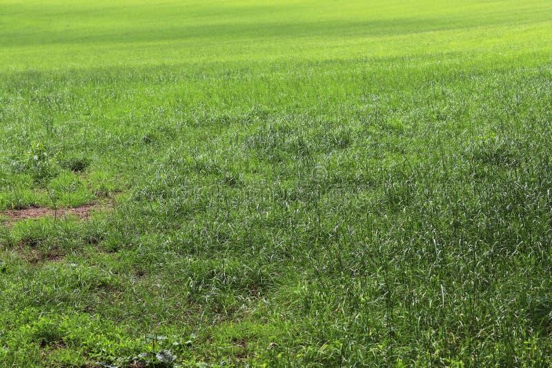 Detalhado perto acima da vista em superfícies da grama verde fotografia de stock