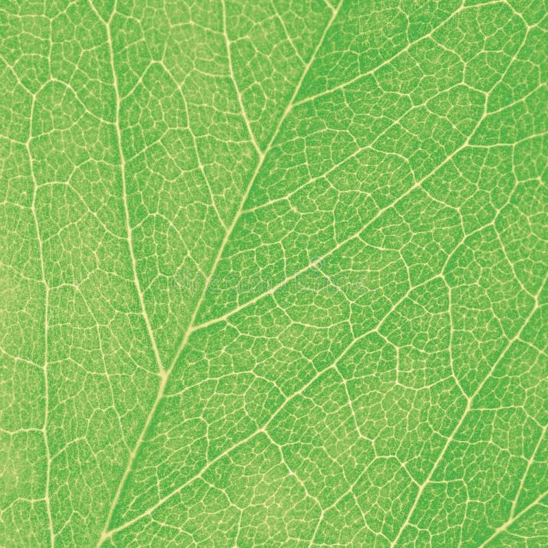 Detalhe abstrato detalhado Textured do teste padrão da textura do fundo do close up da folha macro verde grande imagens de stock