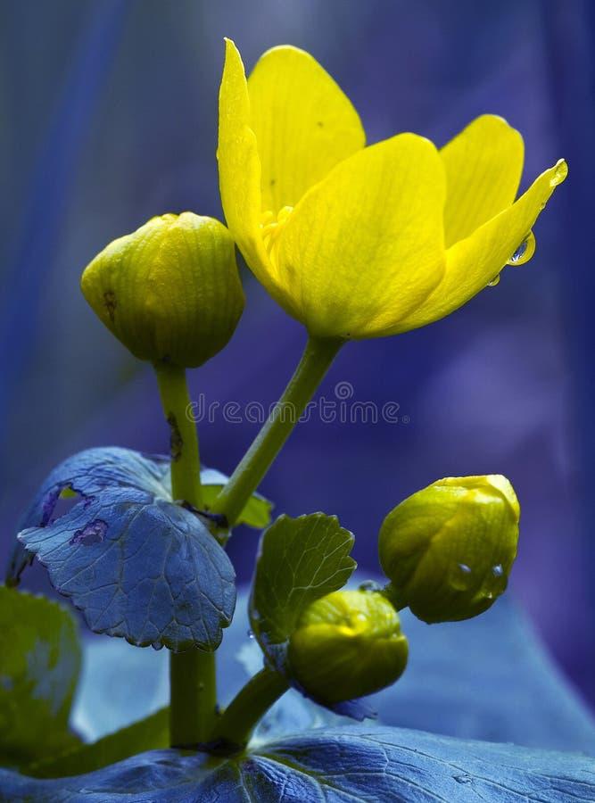 Detalhe amarelo da flor imagens de stock royalty free