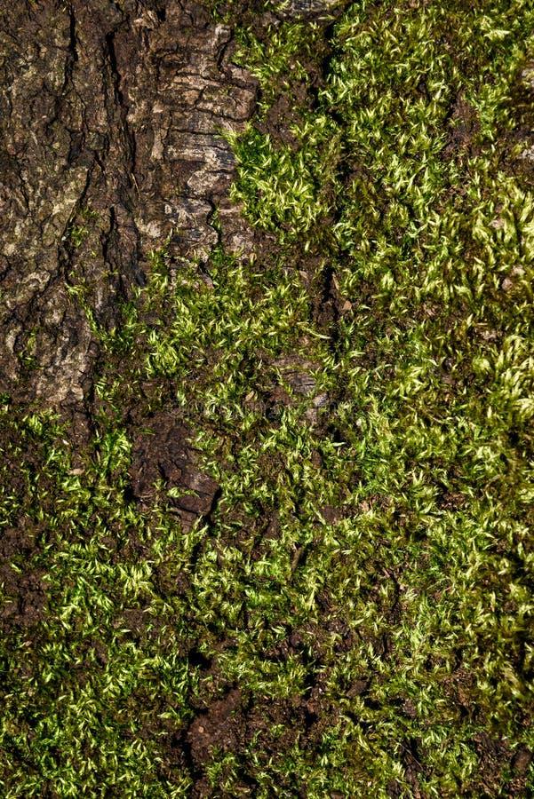 Detalhe ascendente próximo de casca rachada do tronco de árvore e de musgo verde-claro, como um fundo da natureza imagens de stock