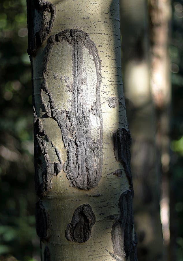 Detalhe ascendente pr?ximo de tronco de ?rvore do ?lamo tremedor com casca e n?s imagem de stock